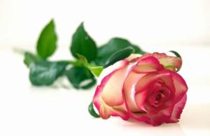 rose-25